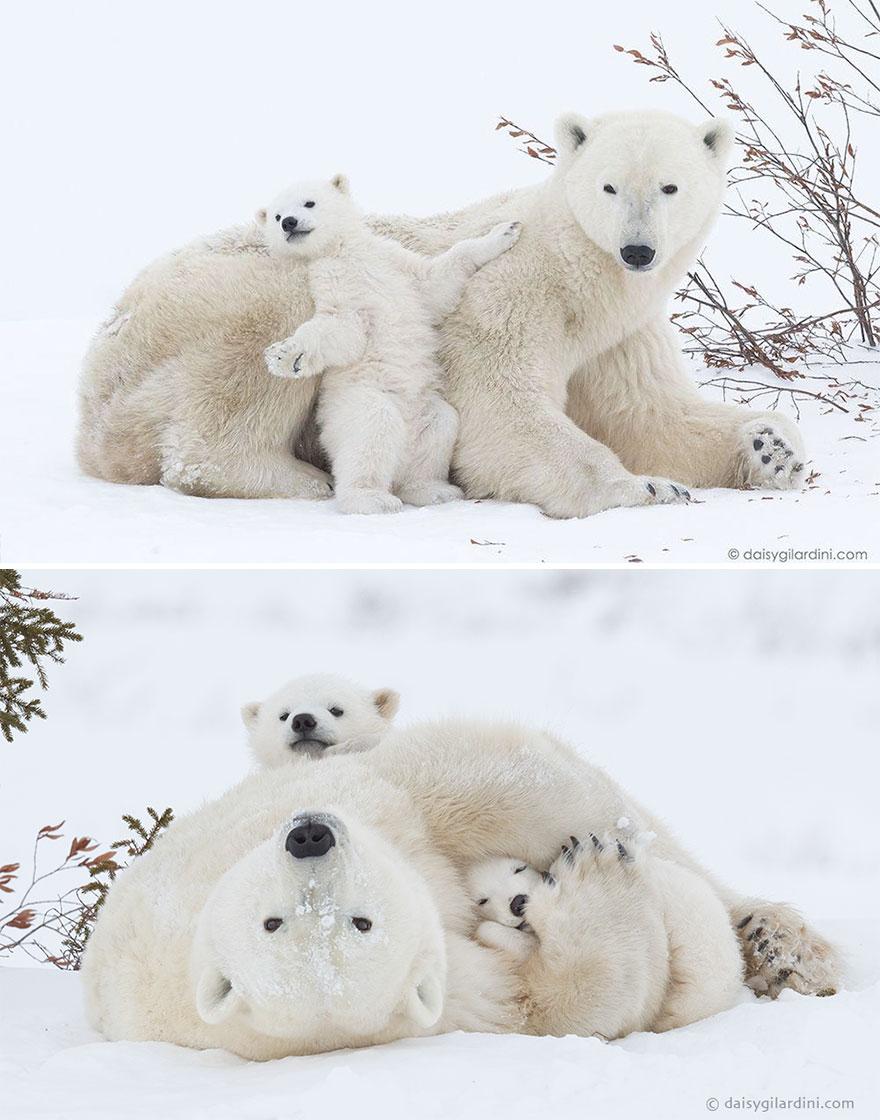 Ложкой снег мешая: милейшие мамы-медведицы учат медвежат уму-разуму