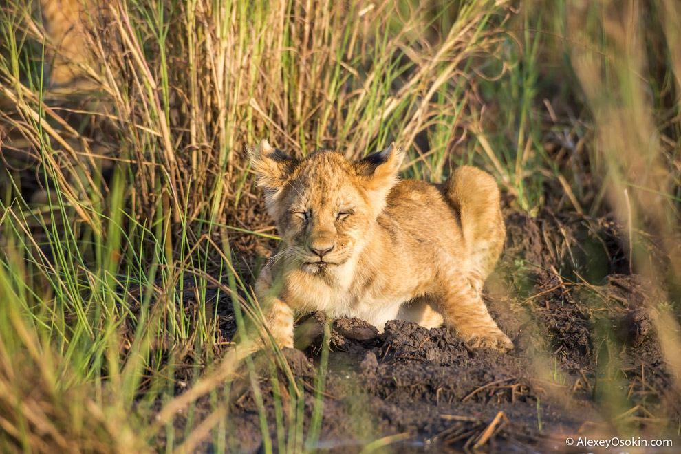 15. Участок, занимаемый группой львов, называется «территорией прайда». Самцы обычно держатся н