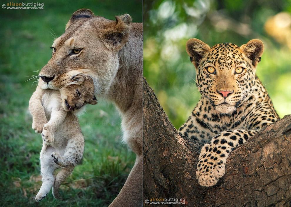 12. Леопард.