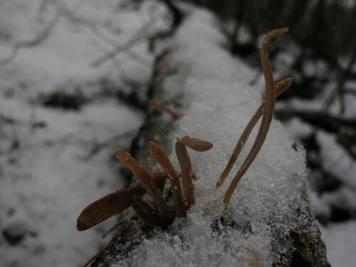 Typhula contorta Автор фото: Станислав Кривошеев
