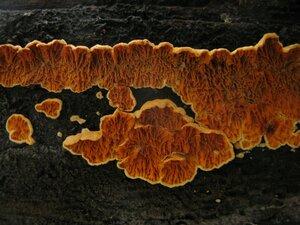 Псевдомерулиус золотистый (Pseudomerulius aureus)
