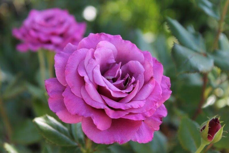 """""""Shocking Blue""""Kordes, 1974. Розы, которые мне хочется!"""