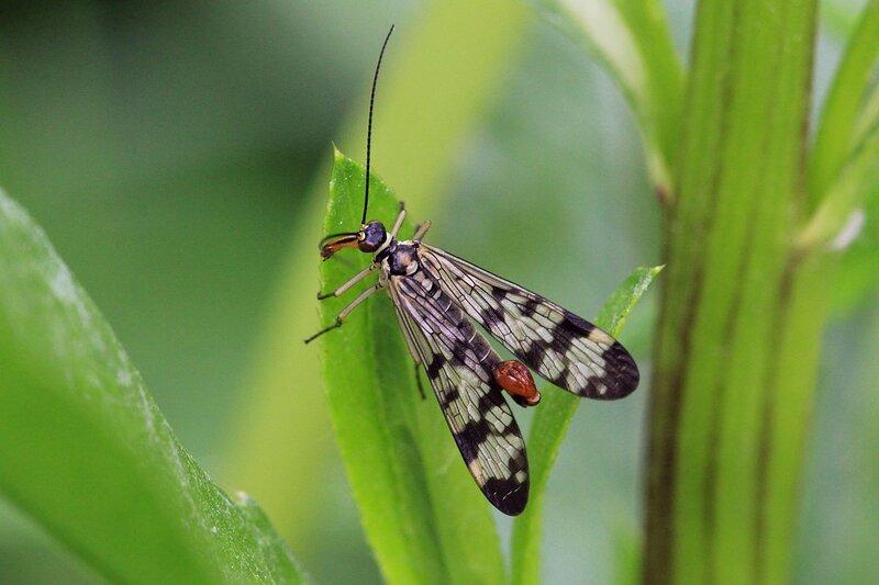 Скорпионница обыкновенная (лат. Panorpa communis), самец с копулятивным аппаратом на конце тела, похожим на жало скорпиона, узорчатыми крыльями, желтоватым телом и рострумом впереди. Отряд Mecoptera