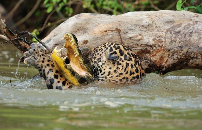 Охота ягуара на каймана шокировала капибару