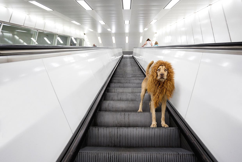 Big city lion / Лев в большом городе
