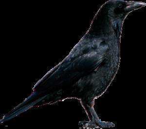 вороны, грачи
