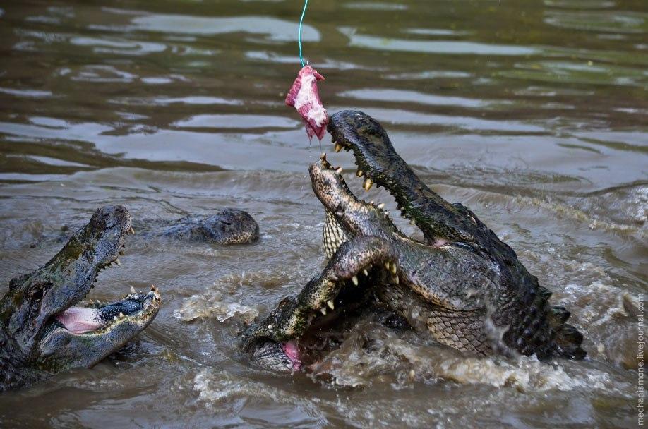 По достижению длины около 5 метров аллигаторов переводят в бассейн, где они живут еще несколько лет.
