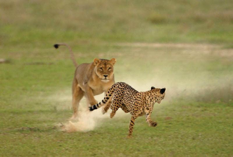 8. Самка гепарда уводит львицу прочь от своих детенышей. (HANNES LOCHNER / BARCROFT MEDIA)