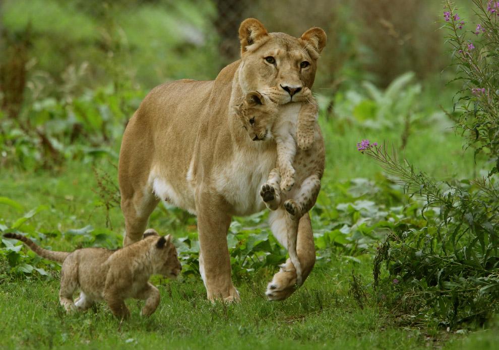 10. Характерной особенностью как льва, так и львицы, является пушистый пучок — «кисточка» на ко