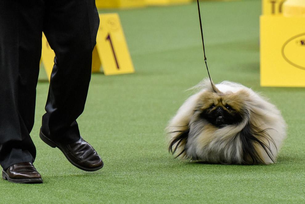 25. «Веревочная собака» выступает перед судьями. (Фото Julie McGuire):