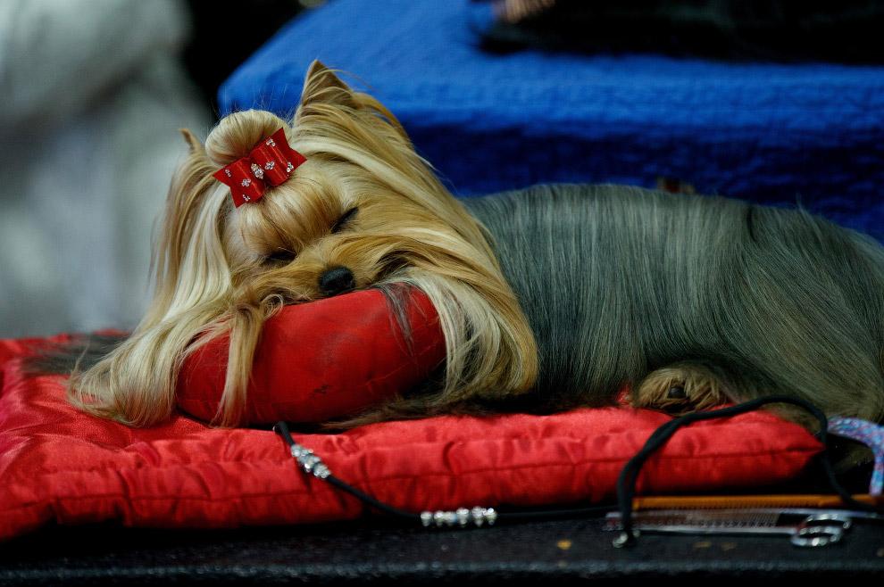 32. Главный победитель выставки собак Westminster Kennel Club 2017. (Фото Timothy A. Clary):