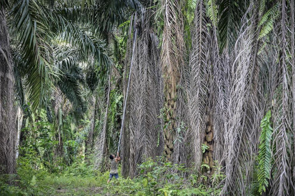 5. На Суматре осталось всего 14 000 орангутангов. Причины исчезновения вида — браконьерство и у