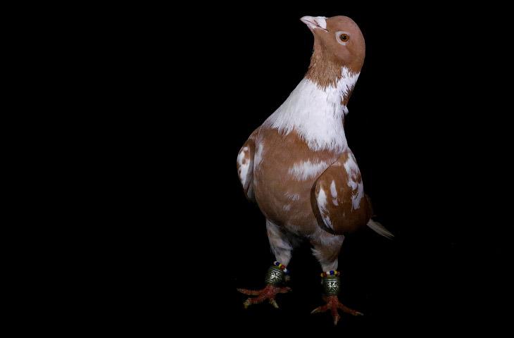 Человек приручил дикого сизого голубя более 5000 лет тому назад, а, возможно, и 10 000 лет назад. С