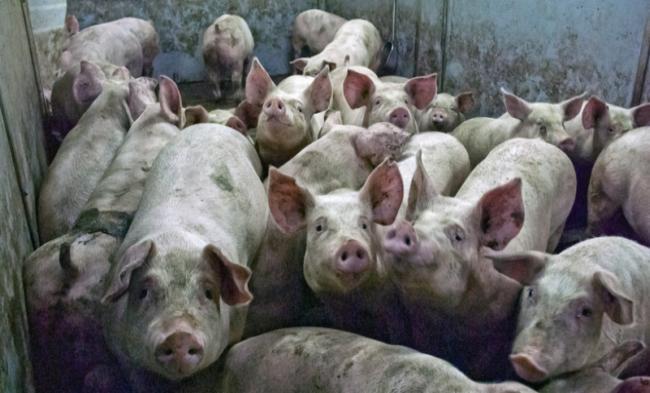 Украина сократила экспорт свинины в20 раз