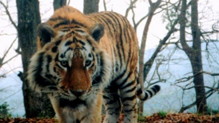 На далеком Востоке опытная тигрица порвала юного тигра— Естественный отбор