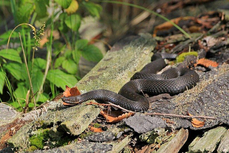 Обыкновенная гадюка (Vipera berus) чёрного цвета (меланист) среди поросших лишайником деревяшек на Змеиной поляне заповедника «Нургуш»