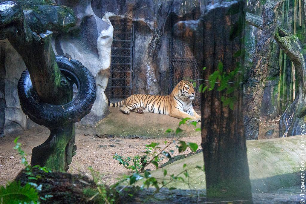 тигр в открытом зоопарке као кео