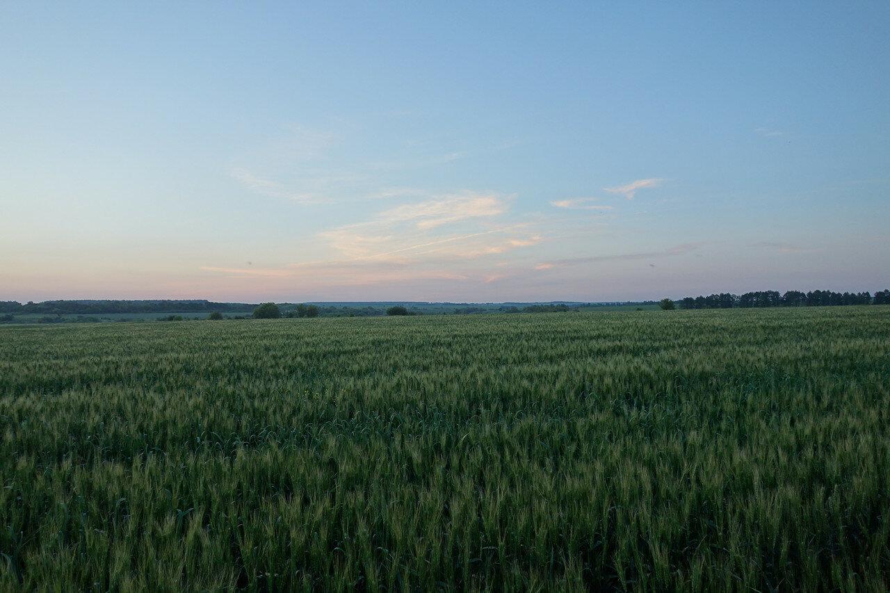 колосья злаков, поле на закате