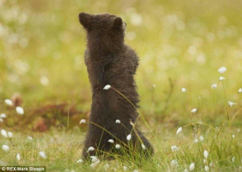 Медвежонок танцует известный Gangnam Style   фотографии