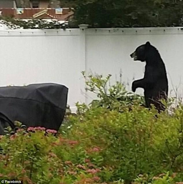 Власти не смогли подтвердить, что медведь, который был застрелен —это именно Педалс, но