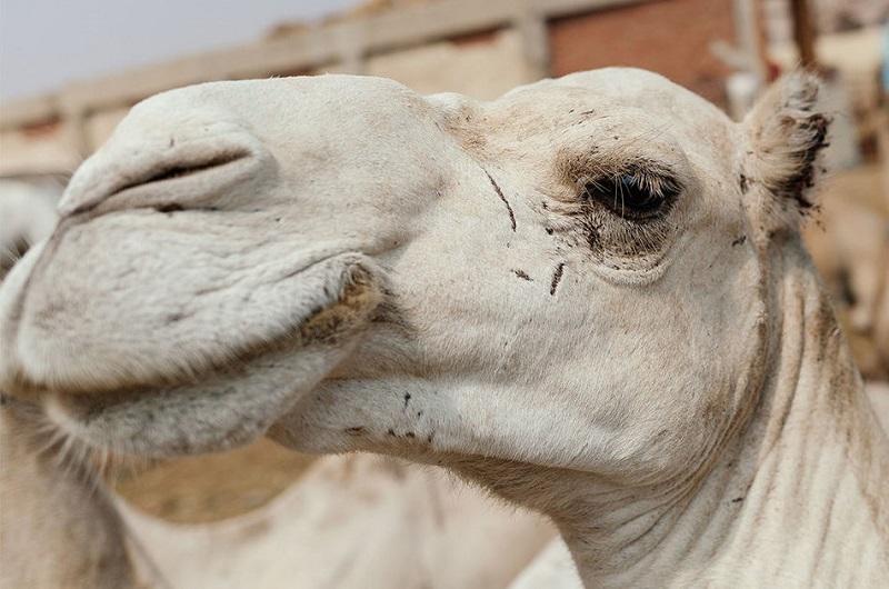 Ужасы самого большого рынка верблюдов в Африке… На это просто невыносимо смотреть! (22 фото)
