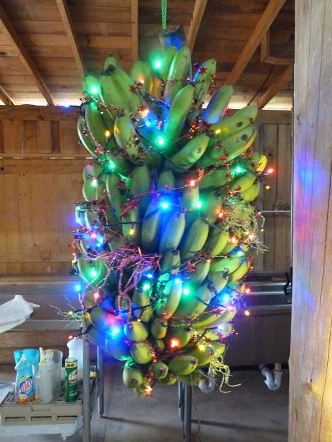 Индия В Индии наряжают банановые или манговые деревья в преддверии Рождества, потому что в стране не