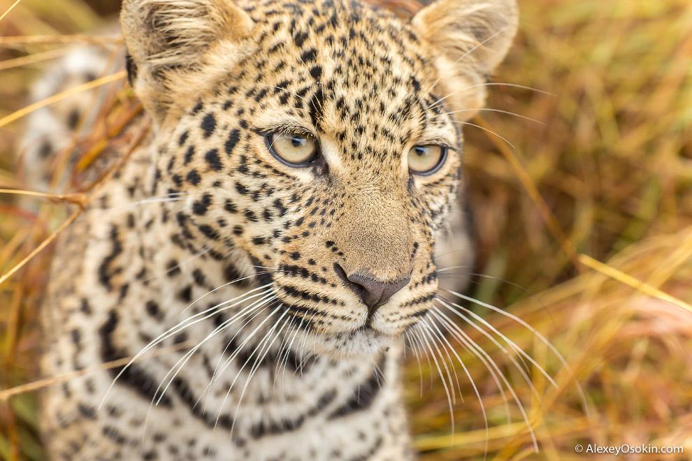 10++ Леопард — животное-невидимка. Порой, чтобы найти леопарда в саванне, требуется несколько д