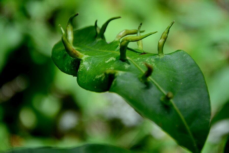 Галлы на листе