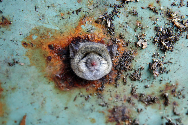 A rat's head rests as it is constricted in an opening in the bottom of a garbage can in the Bro