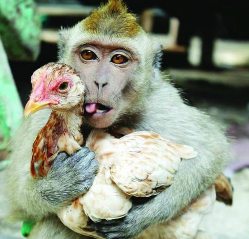 обезьяна и петух.jpg