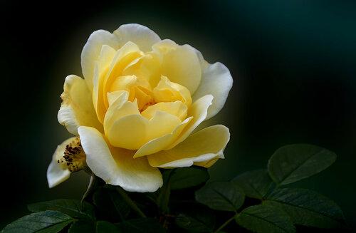 Бело-желтая
