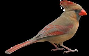 birds brown