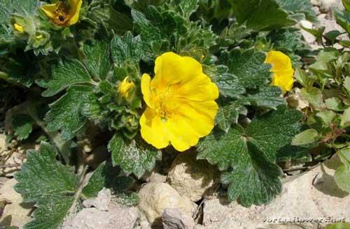 лапчатка желтая, цветок лапчатки