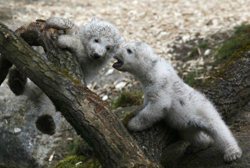 Милые белые медвежата в зоопарке Tierpark Hellabrunn