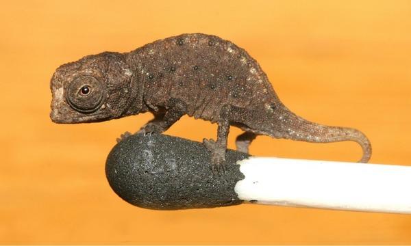 Самый маленький хамелеон в мире (3 фото)