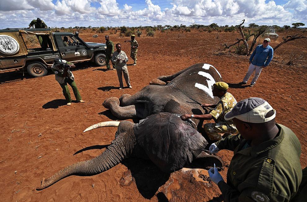 По данным Службы охраны дикой природы Кении, здесь количество слонов увеличилось до 32 000 с 16