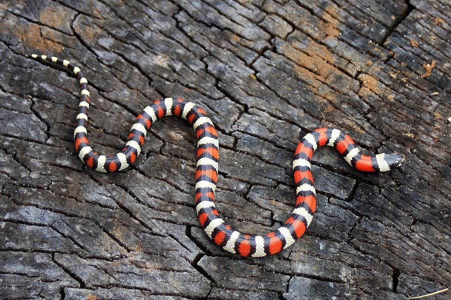 6. Поперечнополосатая королевская змея