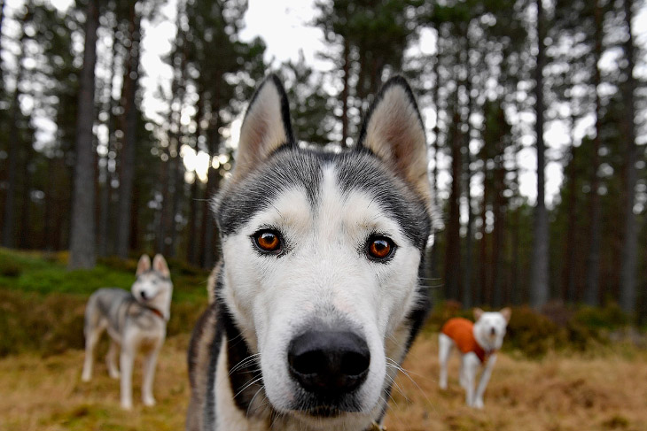 Подготовка к гонке на собачьих упряжках в Шотландии (11 фото)