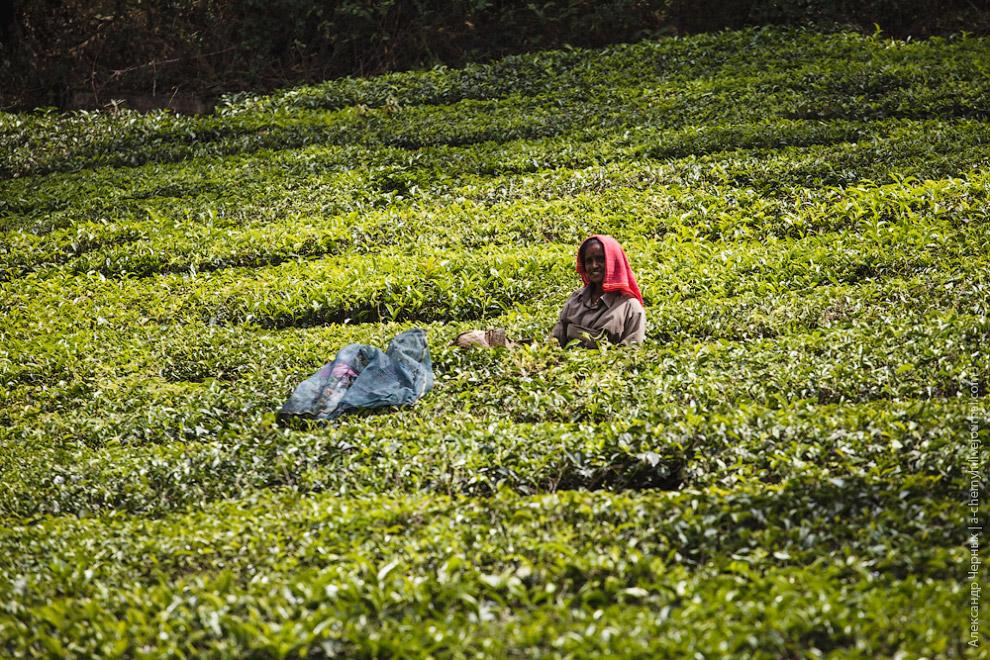 На этих плантациях не практикуют ручную сборку, на помощь работницам приходят вот такие хитрые