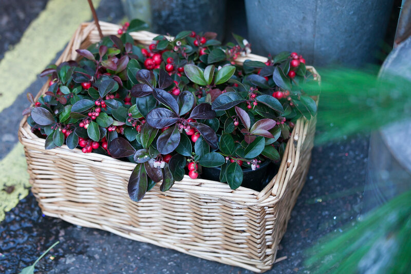Cranberries plant as a christmas decoration in wicker basket