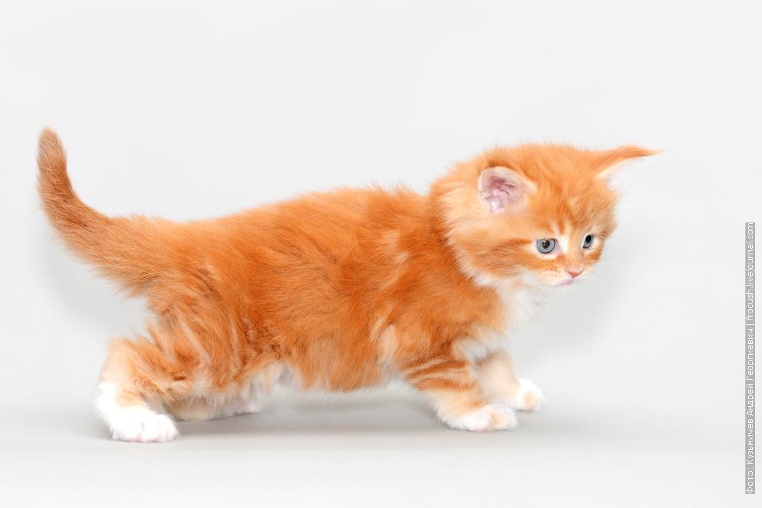 красный котенок мейн кун из питомника в москве