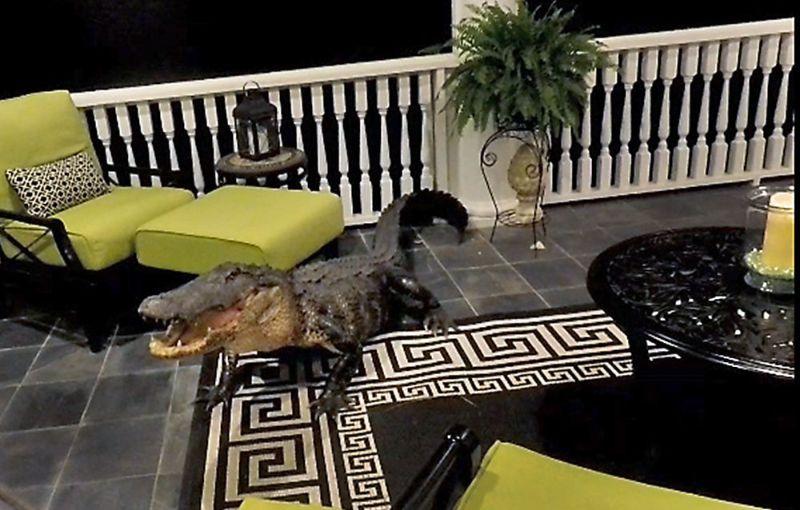 Аллигатор забрался на балкон второго этажа жилого дома