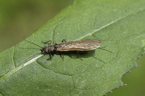 Веснянка (Perlodes sp.)