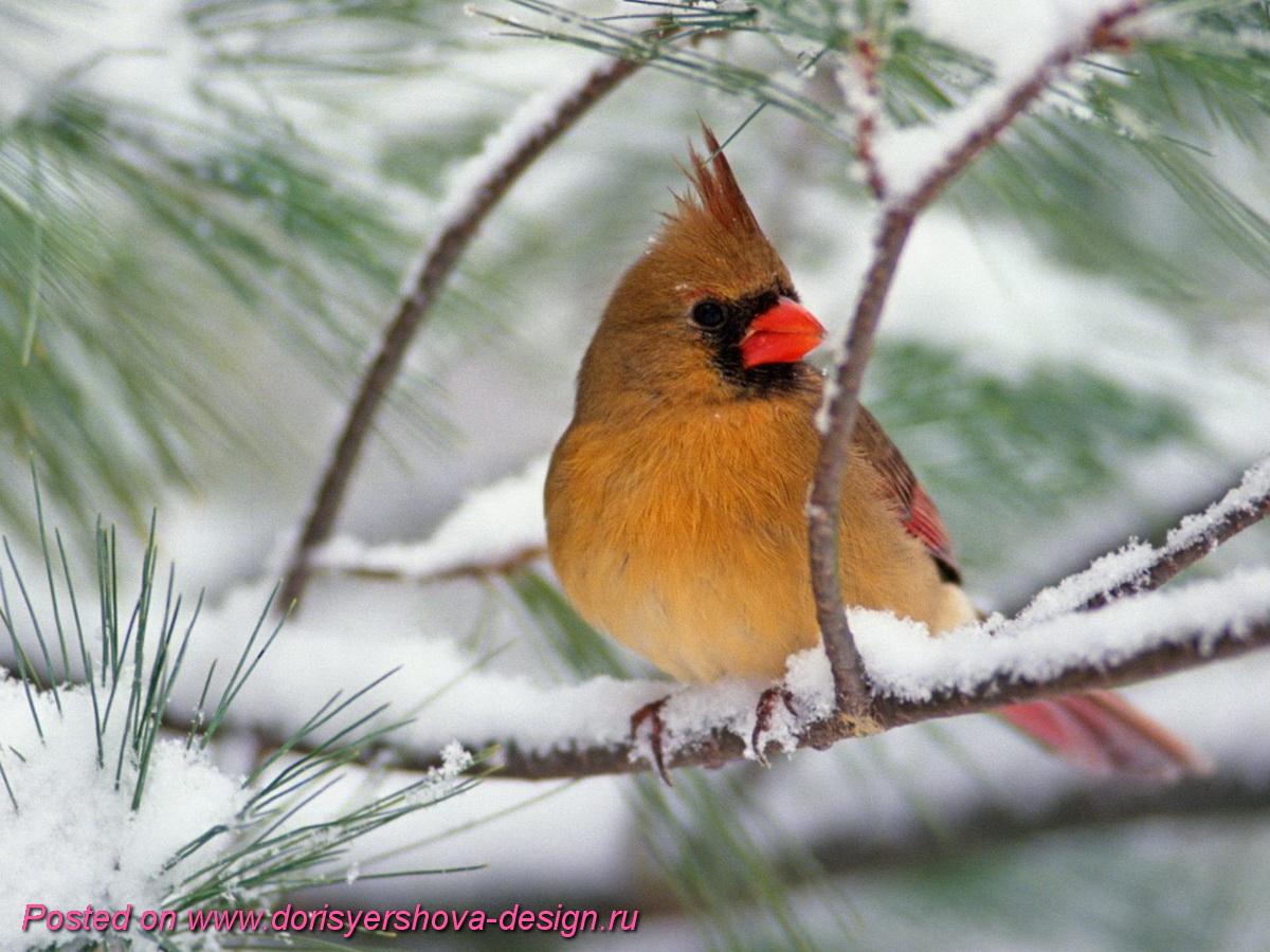 красный кардинал, птицы рождества