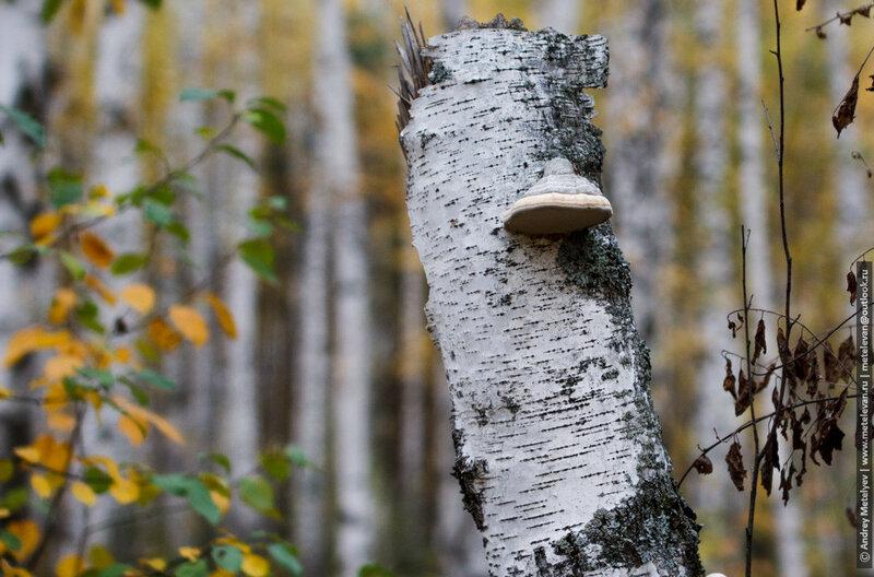 фотография пня в лесу на объектив samyang 50mm 1.4