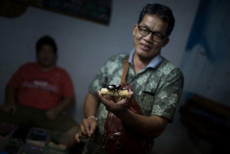 Чемпионат по боям жуков-носорогов в Таиланде