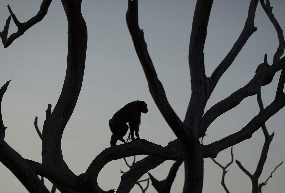5. Так выглядит шимпанзе в 10 месяцев. (Фото Dan Kitwood):