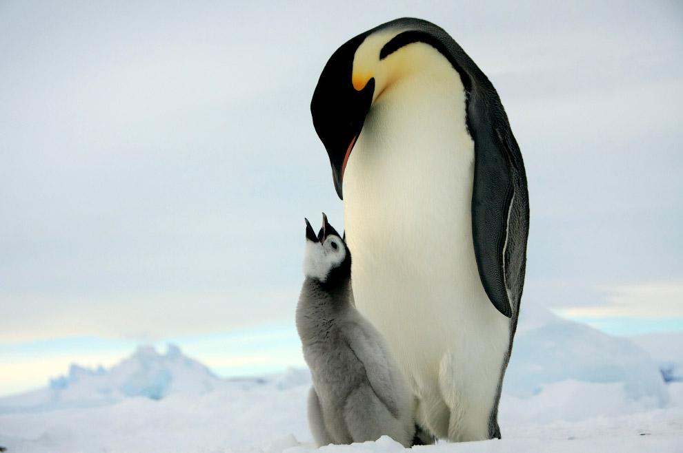 4. Пушистые птенцы. Шансы пингвинов на выживание в течение первых 12 месяцев довольно низкие. С