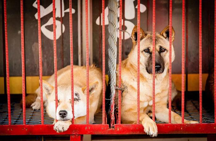 10 жутких кадров, сделанных на собачьих рынках в Северной Корее... Зрелище не для слабонервных!