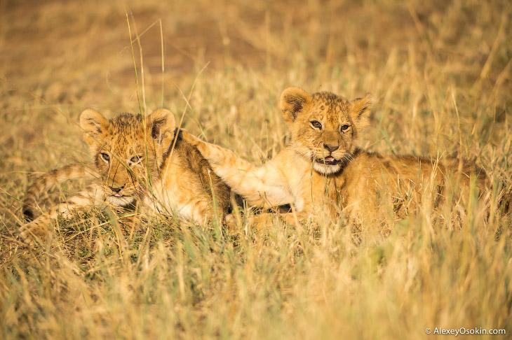 2. Львы — одни из немногих наземных хищников и единственные представители семейства кошачьих, у кото